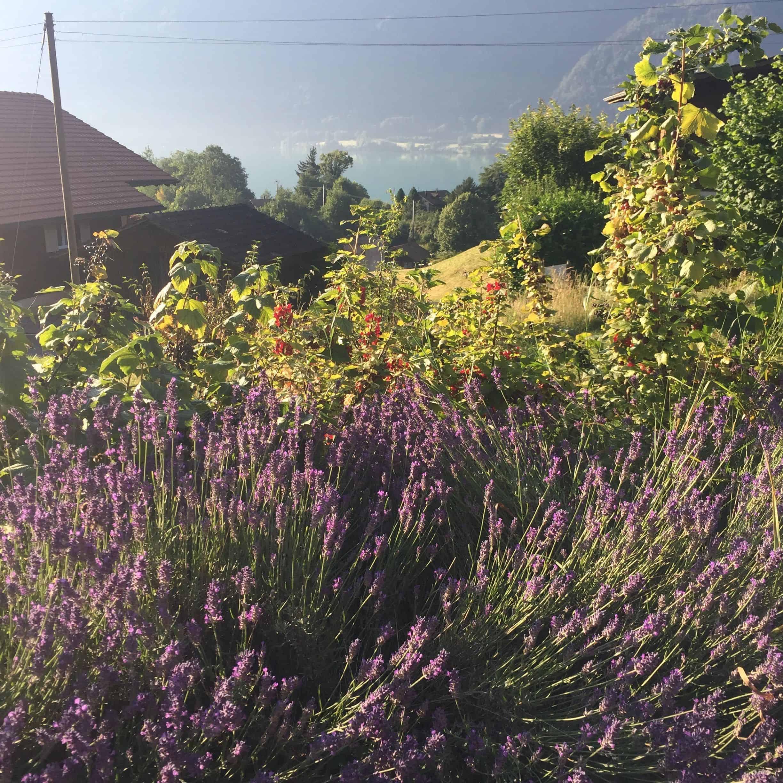 Lavendel und Brienzer See